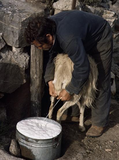 Shepherd Milking Sheep for Cheese, Island of Crete, Greece-Loraine Wilson-Photographic Print