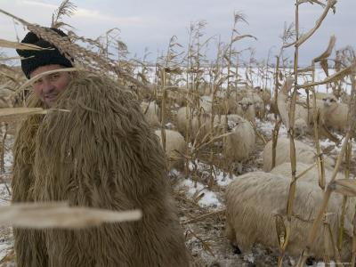Shepherd Wrapped in Sheep's Fleece Tends to His Sheep, Transylvania-Gavin Quirke-Photographic Print