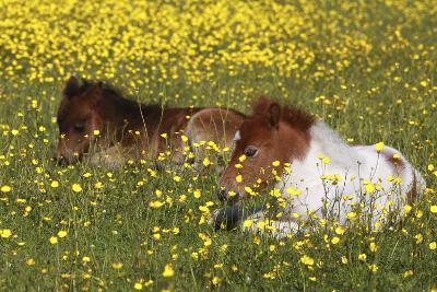 Shetland Pony 012-Bob Langrish-Photographic Print