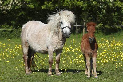 Shetland Pony 014-Bob Langrish-Photographic Print