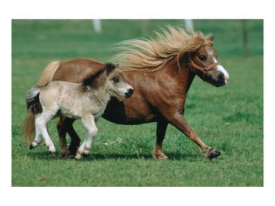 Shetland pony mare with foal--Art Print