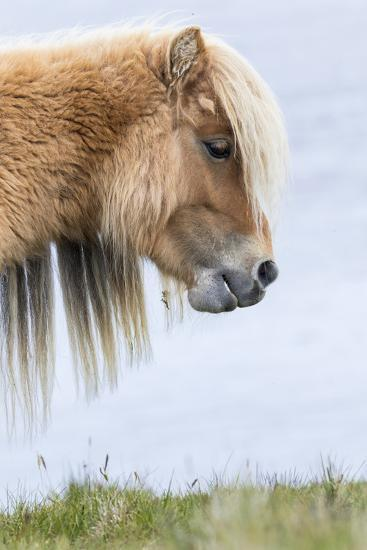 Shetland Pony on the Island of Foula, Part of the Shetland Islands in Scotland-Martin Zwick-Photographic Print