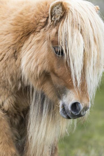 Shetland Pony on the Island of Foula, Part of the Shetland Islands in Scotland-Martin Zwick-Photographic Print