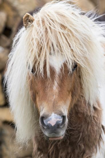 Shetland Pony on the Island of Unst, Part of the Shetland Islands in Scotland-Martin Zwick-Photographic Print