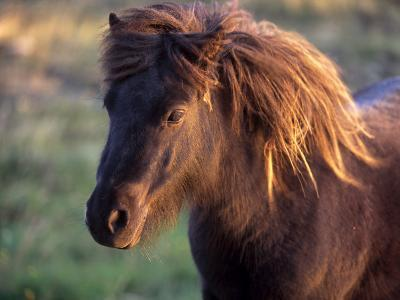 Shetland Pony, Unst, Shetland Islands, Scotland, United Kingdom, Europe-Patrick Dieudonne-Photographic Print