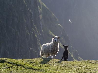 Shetland Sheep, a hardy breed of the Northern Isles in Scotland.-Martin Zwick-Photographic Print