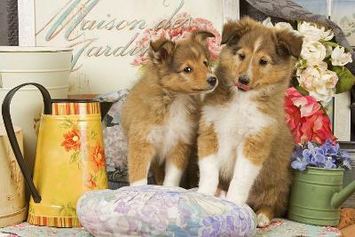 Shetland Sheepdog Puppies--Photographic Print