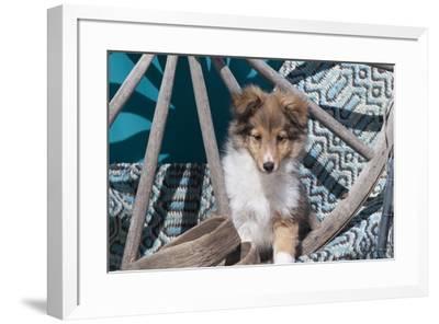 Shetland Sheepdog puppy-Zandria Muench Beraldo-Framed Photographic Print
