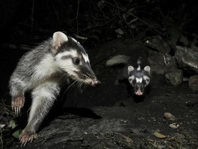 Chinese Ferret Badger (Melogale Moschata) Two Captured by Camera Trap at Night by Shibai Xiao