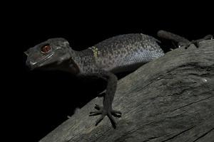 Pingxiang Cave Gecko (Goniurosaurus Luii) Clinging to Tree Trunk with Strong Red Eyes by Shibai Xiao