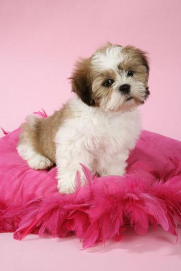 Shih Tzu 10 Week Old Puppy on Pink Cushion--Photographic Print