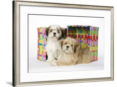 Shih Tzu and Lhasa Apso (Right) Puppies--Framed Photographic Print