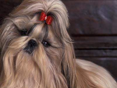 Shih Tzu Portrait with Hair Tied Up, Head Tilted to One Side-Adriano Bacchella-Photographic Print