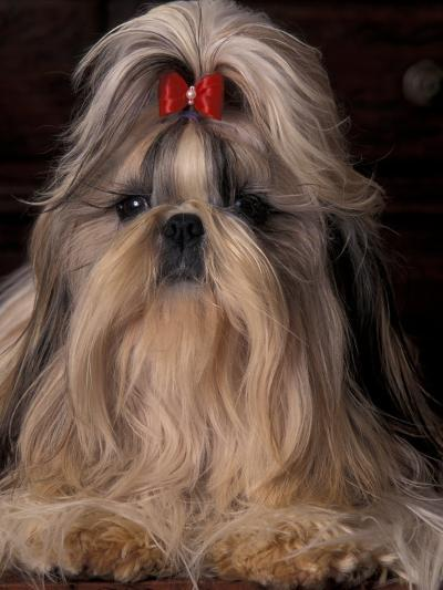 Shih Tzu Portrait with Hair Tied Up, Showing Length of Facial Hair-Adriano Bacchella-Photographic Print