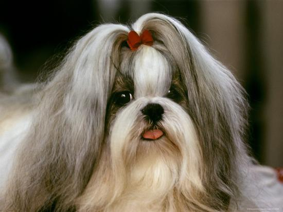 Shih Tzu Poses at a Dog Show in Bermuda-Rex Stucky-Photographic Print