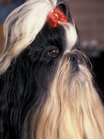 Shih Tzu Profile with Hair Tied Up-Adriano Bacchella-Photographic Print