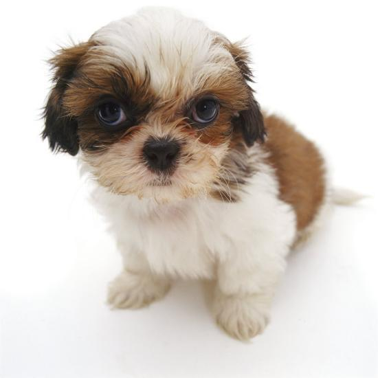 Shih Tzu Pup 7 Weeks Old Sitting Down Photographic Print By Jane