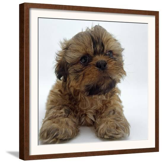 Shih Tzu Puppy 7 Weeks Old Lying Down With Head Up Framed Art
