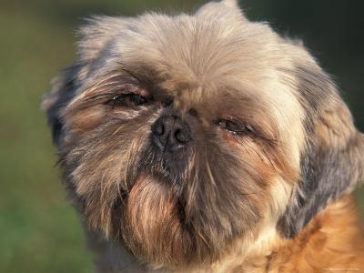 Shih Tzu Puppy Portrait-Adriano Bacchella-Photographic Print