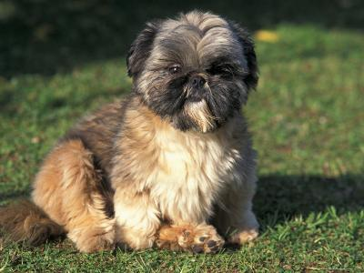 Shih Tzu Puppy Sitting on Grass-Adriano Bacchella-Premium Photographic Print