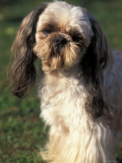 Shih Tzu With Facial Hair Cut Short Photographic Print By Adriano