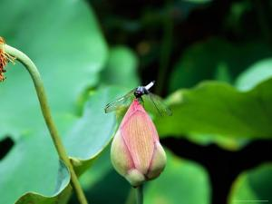 Dragonfly on Lotus, Kyoto, Japan by Shin Terada
