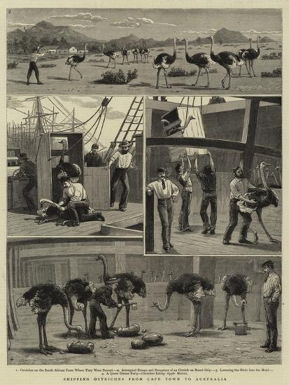 Shipping Ostriches from Cape Town to Australia--Giclee Print