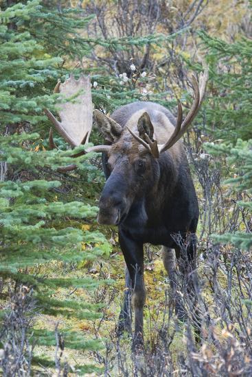 Shiras Bull Moose-Ken Archer-Photographic Print