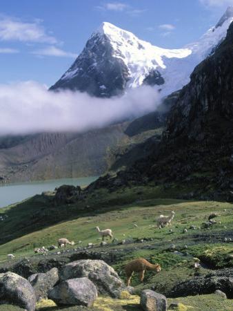 Mt. Ausangate in Rear with Alpacas in Valley, Peru by Shirley Vanderbilt