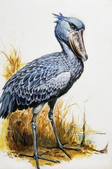 Shoebill or Whalehead (Balaeniceps Rex), Balaenicipitidae--Giclee Print