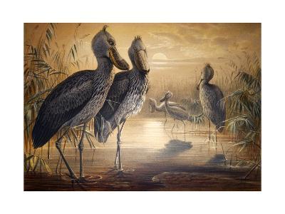Shoebilled Stork, 1861-Joseph Wolf-Giclee Print