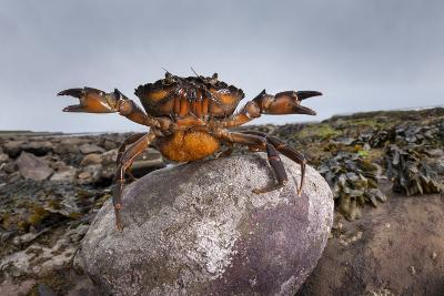 Shore Crab (Carcinus Maenas) Female Carrying Eggs With Claws Raised In Defensive Posture-Alex Hyde-Photographic Print