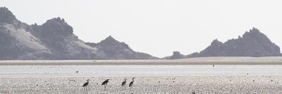Shorebirds at Detwah Lagoon-Michael Melford-Photographic Print