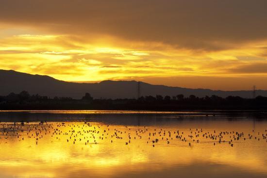 Shorebirds on Salt Pond at Sunrise--Photographic Print