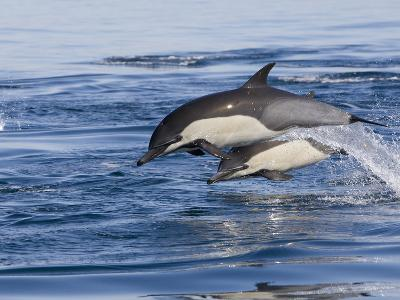 Short-Beaked Common Dolphin (Delphinus Delphis) Jumping and Splashing at Surface, Nine-Mile Bank-Richard Herrmann-Photographic Print