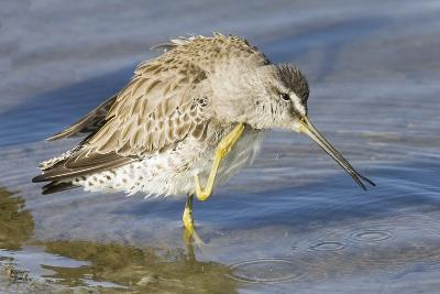 Short-Billed Dowitcher Grooming-Hal Beral-Photographic Print
