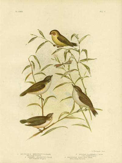 Short-Billed Smicrornis or Weebill, 1891-Gracius Broinowski-Giclee Print