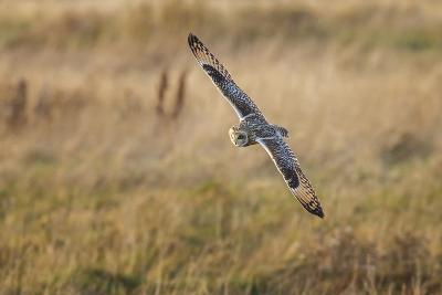 Short-Eared Owl (Asio Flammeus) Manoeuvring In-Flight While Hunting for Prey Above Marsh Land-Garry Ridsdale-Photographic Print
