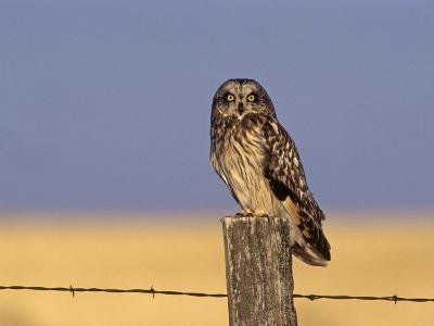 Short-Eared Owl (Asio Flammeus) on a Fence Post, North America-Tom Ulrich-Photographic Print
