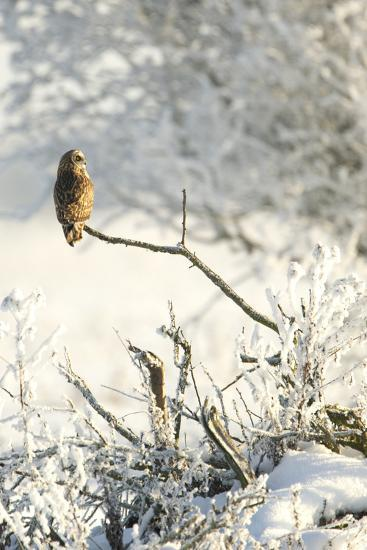 Short-Eared Owl (Asio Flammeus) Perched on a Branch, Worlaby Carr, Lincolnshire, England, UK-Danny Green-Photographic Print