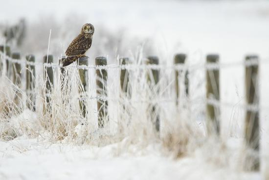 Short-Eared Owl (Asio Flammeus) Perched on a Fence Post, Worlaby Carr, Lincolnshire, England, UK-Danny Green-Photographic Print