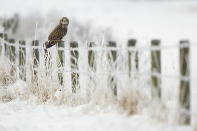 https://imgc.artprintimages.com/img/print/short-eared-owl-asio-flammeus-perched-on-a-fence-post-worlaby-carr-lincolnshire-england-uk_u-l-q10o5m80.jpg?p=0