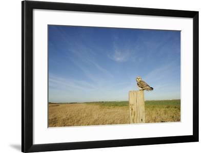 Short-Eared Owl (Asio Flammeus) Perched on Post, Wallasea Island Wild Coast Project, Essex, UK-Terry Whittaker-Framed Photographic Print