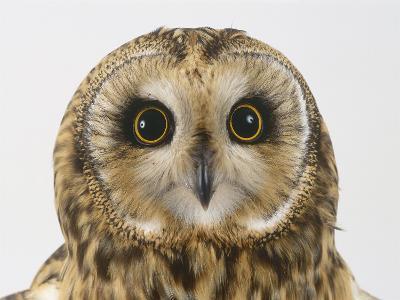 Short-Eared Owl, Asio Flammeus-Les Stocker-Photographic Print