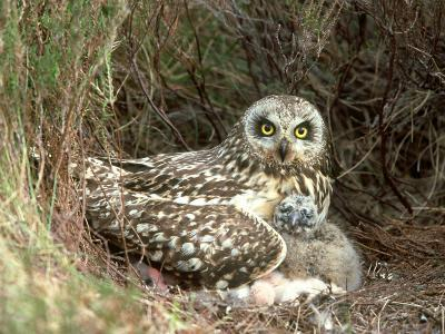 Short-Eared Owl at Nest with Chicks in Heather, UK-Mark Hamblin-Photographic Print