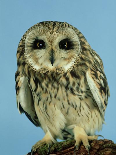 Short-Eared Owl, England, UK-Les Stocker-Photographic Print