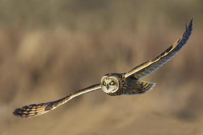 Short-Eared Owl Hunting-Ken Archer-Photographic Print