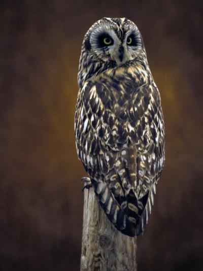 Short Eared Owl, Idaho-Michael S^ Quinton-Photographic Print