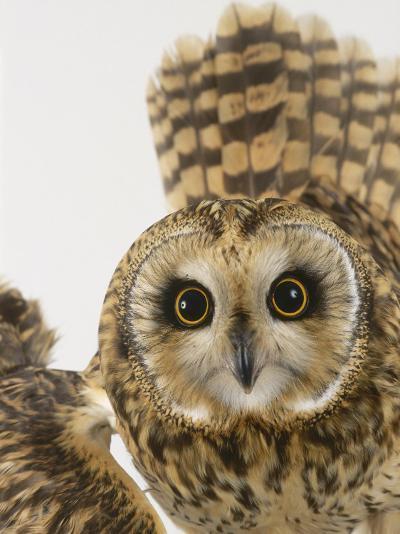Short-Eared Owl, St. Tiggywinkles Wildlife Hospital, UK-Les Stocker-Photographic Print