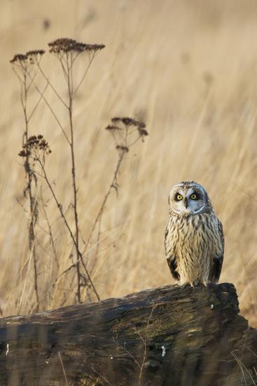 Short-Eared Owl-Ken Archer-Photographic Print